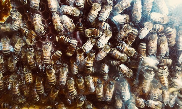 kisland-bees-robinesrock