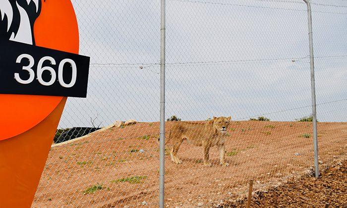 lion-cage-robinesrock