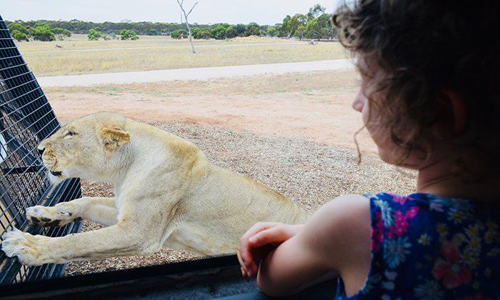 lion-lookingin-robinesrock