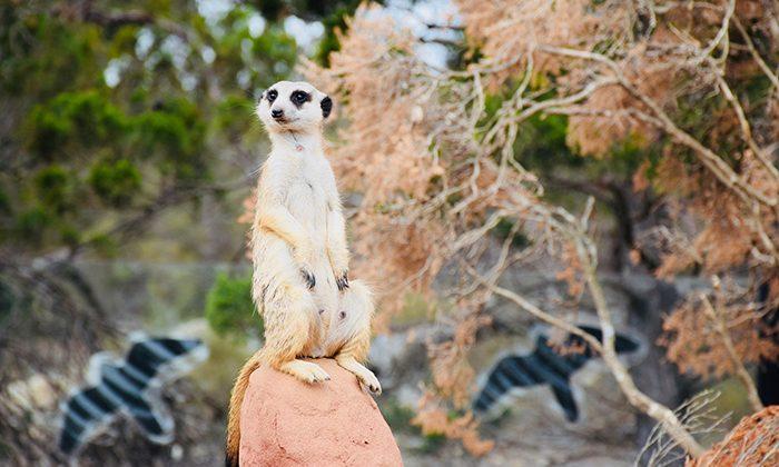 lion-meerkat-robinesrock