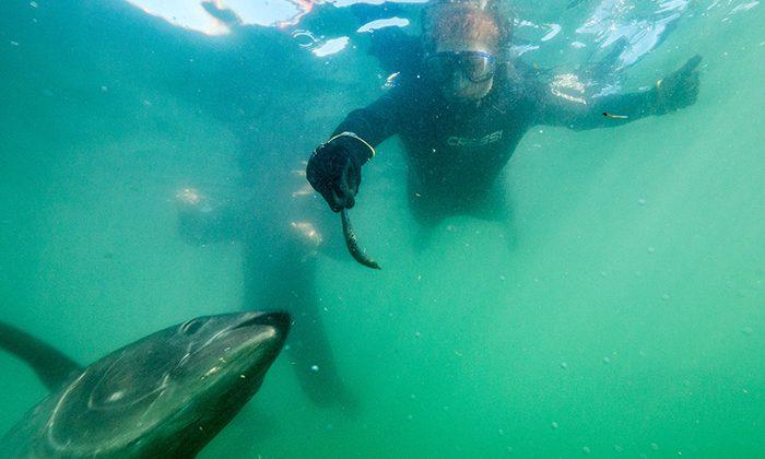 tuna-feed-Courtesy-Oceanic-Victor