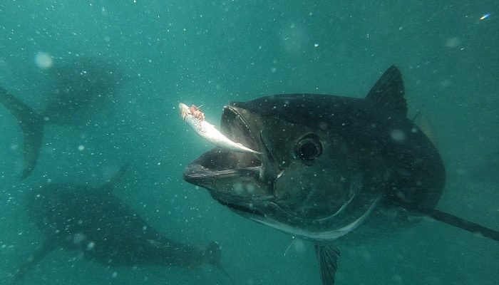 tuna-fish-Courtesy-Oceanic-Victor-Harley-Vincent-